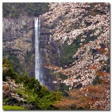 nachi-falls-cherry-blossoms.jpg