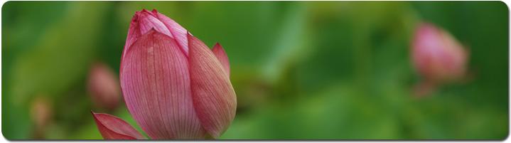 lotus_pan.jpg