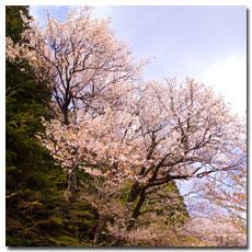 hidehira-zakura.jpg
