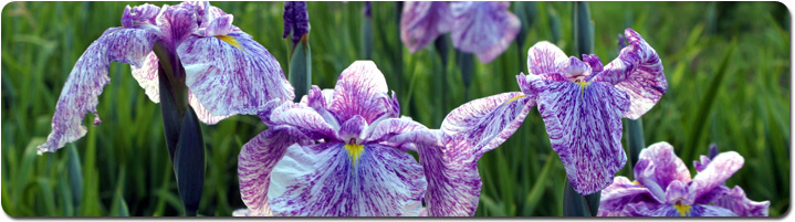 iris_panorama.jpg