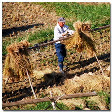 rice-harvest-takahara.jpg
