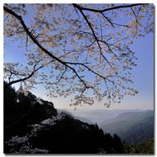 fushiogami-oji-sakura.jpg