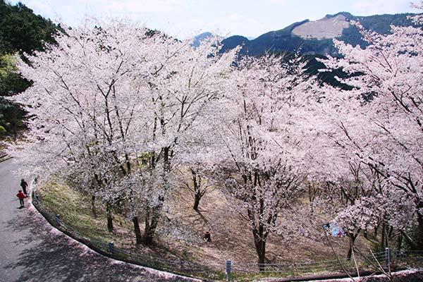 七越峯の桜